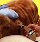 犬の体温を耳で測る耳体温計